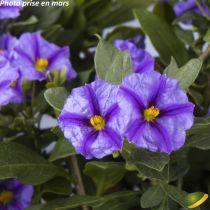 Solanum* rantonetti