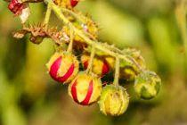 Solanum sisymbriifolium - Morelle de Balbis