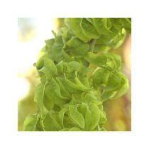 Sophora japonica \'Dot\'