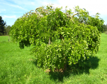 Sophora japonica \'Pendula\'