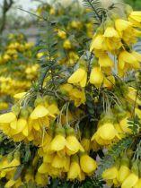 Sophora microphylla \'Sun King Hilsop\'