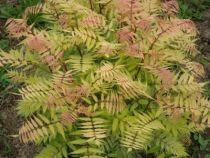 Sorbaria sorbifolia \'Sem\'
