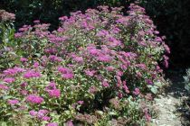 Spiraea bumalda \'Anthony Waterer\'
