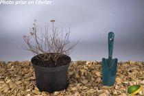 Spiraea japonica \'Golden Princess\'