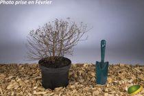 Spiraea japonica \'Little Princess\'