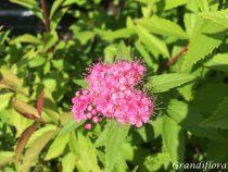 Spiraea japonica \'Shirobana\'