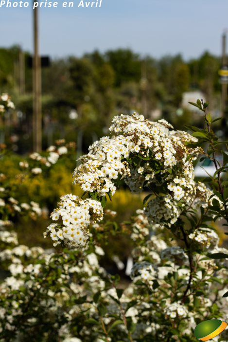 Spiraea japonica \'Vanhouttei\'