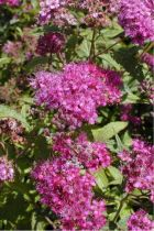 Spirea bumalda \' Anthony Waterer \'