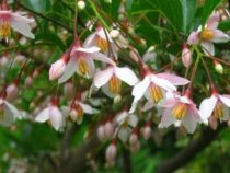 Styrax japonicus \'Pink Chimes\'