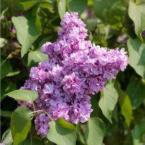 Syringa * vulgaris \'Kindy Rose®\'
