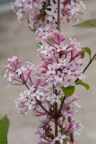 Syringa microphylla \'Superba\'