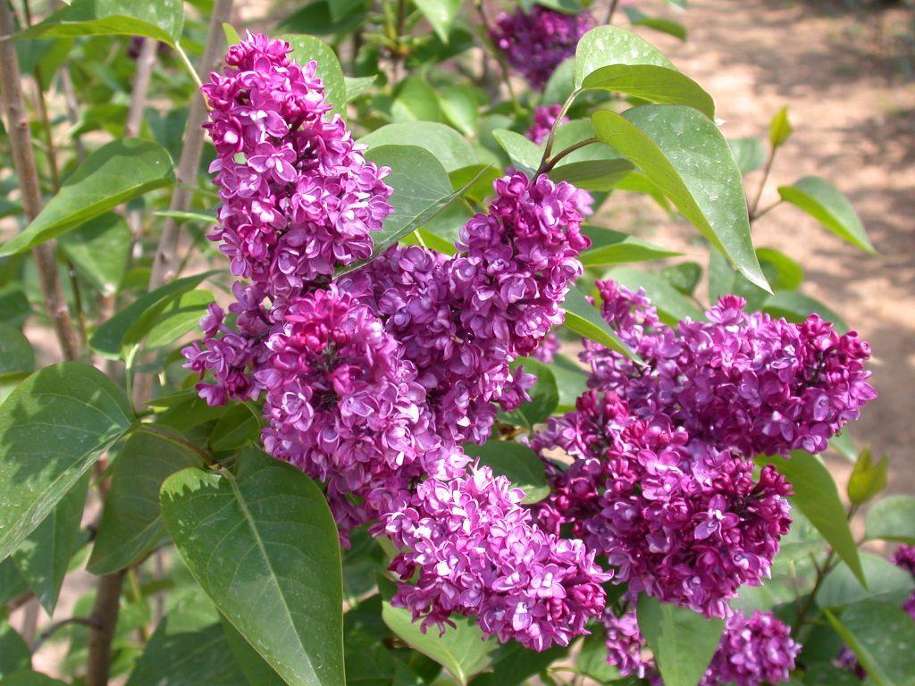 Syringa vulgaris charles joly grandiflora for Syringa vulgaris