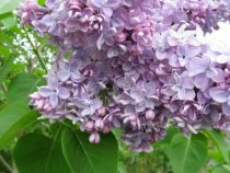 Syringa vulgaris \'Katherine Havemeyer\'