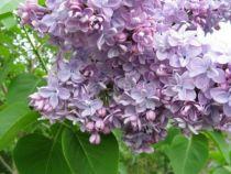 Syringa vulgaris \'Katherine Havemeyer\'