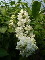Syringa vulgaris \'Madame Lemoine\'