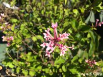 Syringa x \'Bloomerang® \'Pink Perfume\'