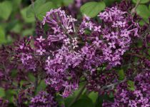 Syringa x \'Bloomerang® Dark Purple\'