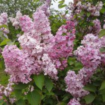 Syringa x hyacinthiflora \'Maiden\'s Blush\'