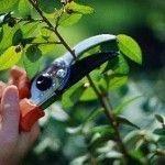 Taille d'entretien au sécateur pour former les végétaux et favoriser la floraison.