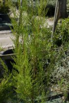 Tamarix ramosissima \'Pink Cascade\'