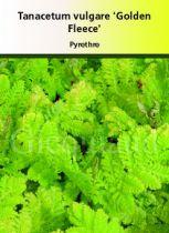 Tanacetum vulgare \' Golden Fleece \'