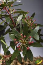 Tasmannia lanceolata mâle
