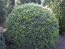 Taxus* baccata Boule