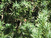 Taxus* baccata Fastigiata robusta