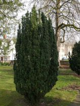 Taxus* baccata