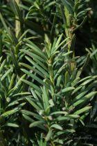 Taxus baccata \' Fastigiata \'