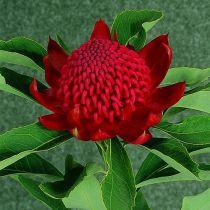 Telopea speciosissima x oreades \'Shady Lady Crimson\'