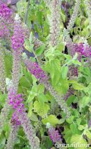Teucrium hircanicum \'Paradise Delight\'