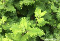 Teucrium scorodonia \'Crispum\'