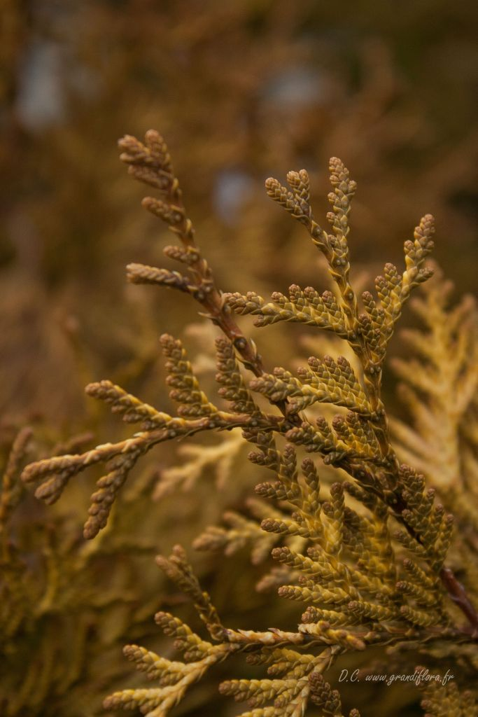 Thuya occidentalis \' Yellow Ribbon \'