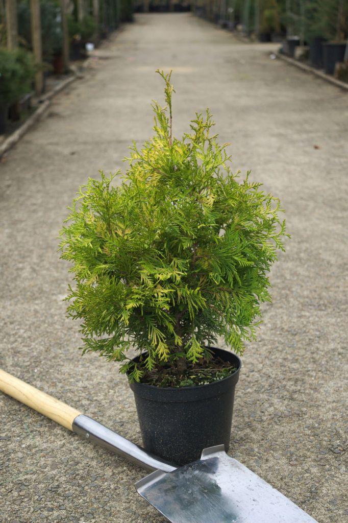 Thuya occidentalis \' Yellow Ribbon \', conifère persistant au feuillage vert doré et forme conique.