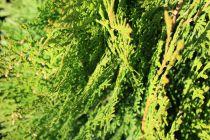 Thuya orientalis \'aurea nana\'