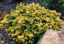 Thym citron \'Aureus\' - Thymus citriodorus