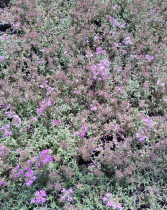 Thymus praecox \'Red Carpet\'