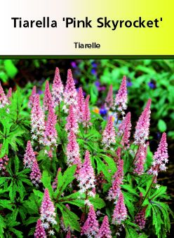 Tiarella \' Pink Sky Rocket \'