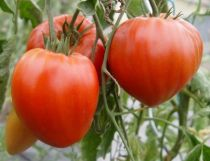 Tomate greffée \'Coeur de Boeuf\'