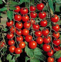 Tomate greffée \'Supersweet 100\' F1