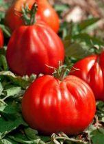 Tomate greffée Corazon
