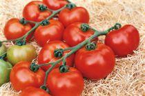 Tomate greffée Grappe \'Paola\' F1