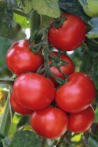Tomate greffée Grappelina F1
