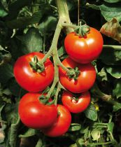 Tomate greffée Prévia F1