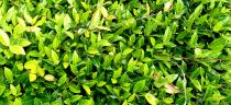 Trachelospermum asiaticum \'Nana\'
