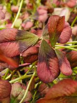 Trifolium \'Angel Clover Beauty\'