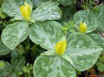 Trillium luteum