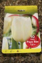 Tulipe \'Pays bas\'