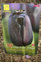 Tulipe \'Queen of Night\'